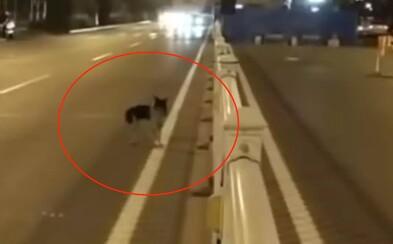 Pes už 80 dní oplakává majitelku na místě její smrti. Střed rušné čtyřproudovky odmítá opustit