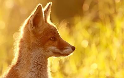 Úžasné fotografie divokých líšok od talentovanej fotografky