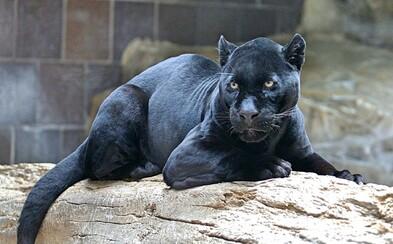 V Africe po 110 letech vyfotili kriticky ohroženého černého pantera