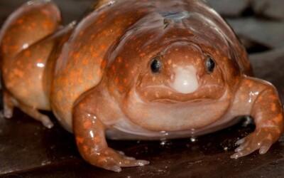 """V amazonskom dažďovom pralese objavili """"zombie žabu"""""""