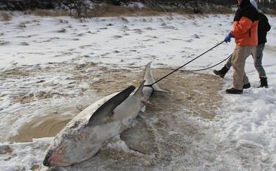V Amerike je taká zima, že tam zamŕzajú aj žraloky. Na pobrežie sa vyplavujú mŕtve telá, ktoré nezvládli teplotný šok