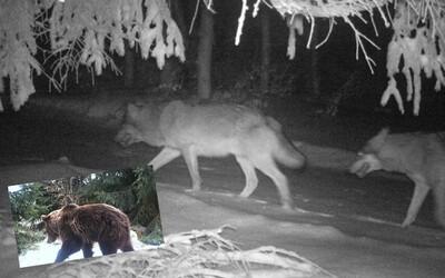 V Beskydech zachytila fotopast vlčí smečku. Vrátila se sem po dvaceti letech, spatřen byl i medvěd