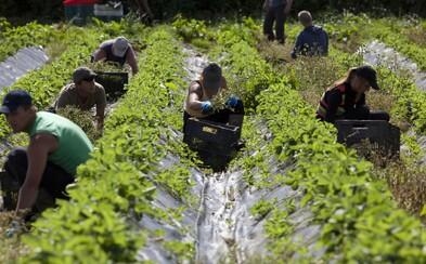 V Británii nebude mať tento rok kto zbierať jahody. Na farmách potrebujú až 90 tisíc sezónnych pracovníkov