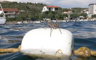 V Chorvátsku turisti narazili na obrovských pavúkov. Jeden im ochotne zapózoval v mori