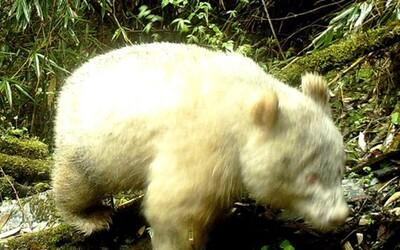 V Číně poprvé vyfotili vzácnou bílou pandu