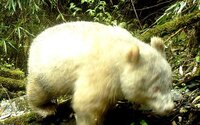 V Číne prvýkrát odfotili vzácnu bielu pandu