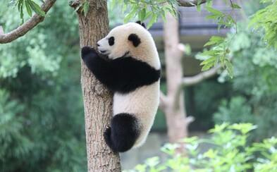 V Číně se začaly vyrábět toaletní papíry a kapesníky z pandích výkalů. Roztomilé zvíře zřejmě myslí i na ekologii
