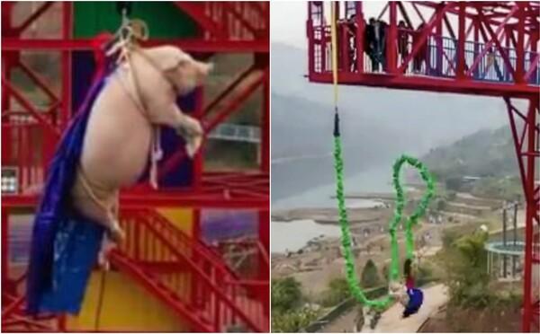 V čínském zábavním parku shodili prase na laně z 68metrové věže. Zvrácený bungee jumping řeší i PETA