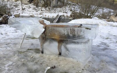 V Dunaji zamrzla líška po tom, čo sa do studenej vody prepadla cez tenký ľad. Zviera doplatilo na extrémnu zimu v Európe