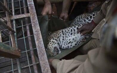 V indickém národním parku zastřelili leoparda poté, co ohrožoval místní. Na svědomí má údajně 21 životů