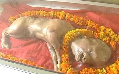 V Indii se narodila kráva s hlavou připomínající tu lidskou. Místní obyvatelé ji uctívají, protože prý vypadá jako bůh