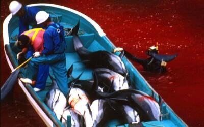 V Japonsku začal masakr, při kterém se pobřežní vody zbarví do ruda krví delfínů