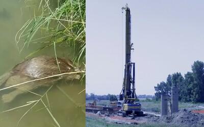 V Jarovskom ramene v Bratislave hynú ryby aj chránené bobry. Môže za to neďaleká výstavba?