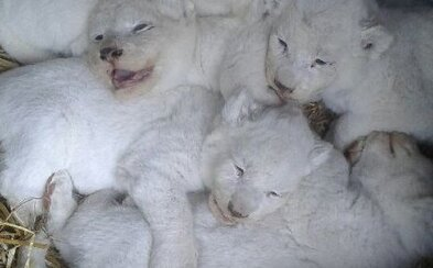 V jihočeské zoo se narodilo pět mláďat vzácného bílého lva. Jedná se o vůbec první lvíčata tohoto druhu v historii českých a slovenských zahrad