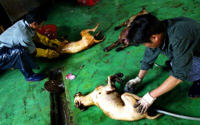V Jižní Koreji zavřeli psí jatka, která zásobovala skoro celou zemi. Ročně tam sní 100 tisíc psů