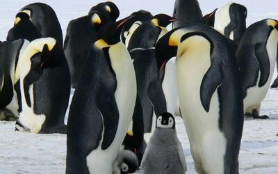 V Kanade mali také mrazy, že zima bola ešte aj tučniakom v zoo. Zvieratá museli presunúť do vykurovaného pavilónu