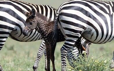 V Keni objevili unikátní mládě zebry, je hnědé a místo pruhů má bílé tečky