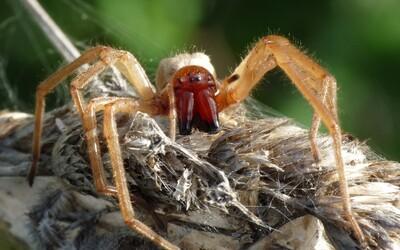V Kútoch sa vyskytol jedovatý pavúk. Ak ťa uhryzne, môžeš skončiť v nemocnici