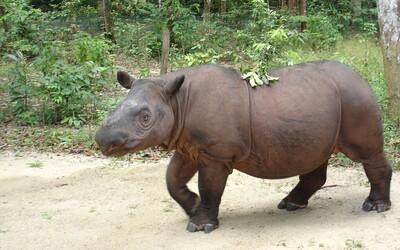 V Malajzii vyhynul druh vzácneho nosorožca