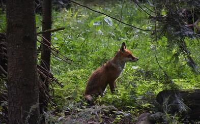 V najbližšie dni nesmieš zobrať svojho psa do lesa, upozorňujú veterinári. Líšky čaká vakcinácia
