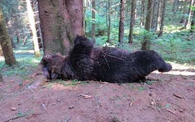 V Národnom parku Veľká Fatra niekto zastrelil chráneného medveďa, páchateľa hľadá polícia