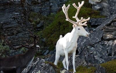 V Norsku fotograf zachytil nesmírně vzácného bílého soba