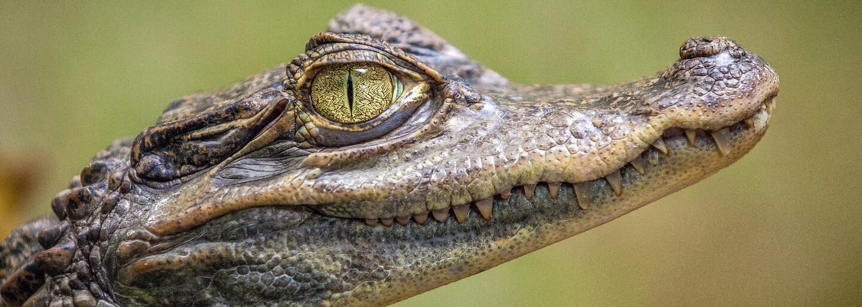 V Ostravě utekl krokodýl. Zhruba metr dlouhý predátor navíc už dva dny nejedl