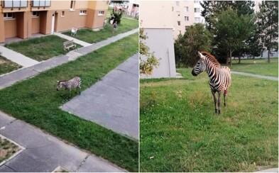 Na Slovensku se po sídlišti procházela zebra. Museli ji odchytit