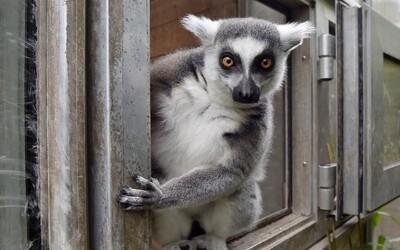 V plastovom boxe uniesol ohrozený druh lemura, mal sa stať jeho domácim zvieratkom