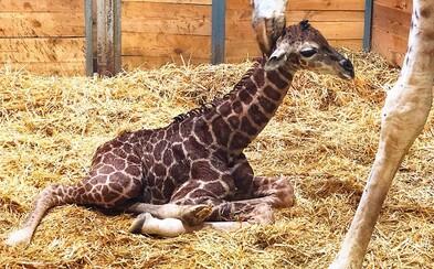 V pražské zoo se narodilo žirafí mládě
