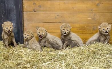 V pražské zoologické zahradě se slaví. Narodilo se jim pět gepardích mláďat