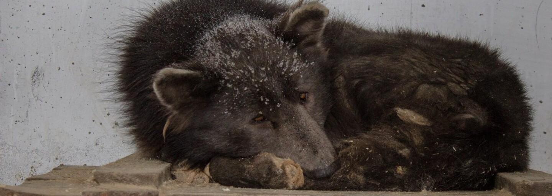 V Rusku našli psa vyzerajúceho ako medveď. Ide o kríženca, nešťastný omyl alebo niečo iné?