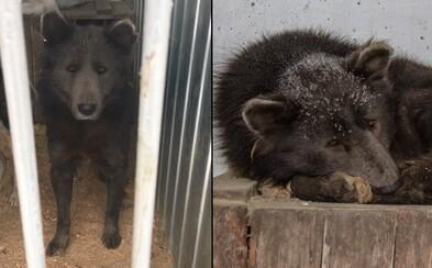 V Rusku našli psa, který vypadá jako medvěd. Jde o křížence, anebo něco jiného?