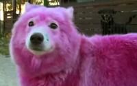 V Rusku někdo obarvil psy narůžovo, aby se s nimi mohli fotit turisté. Až ho omrzeli, tak je odvezl do lesa, kde je našli ochránci přírody