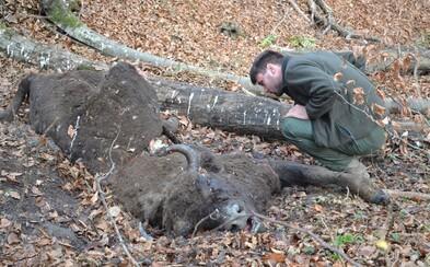 V slovenských Poloninách zabili zubricu menom Entre. Na svete žije len 3 000 jedincov chránenej zvery