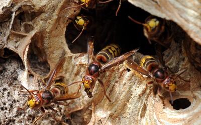 V USA se šíří agresivní sršně mandarínské. Zabíjejí tamní včely a útočí na lidi