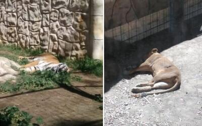 V zavřené španělské zoo umírají desítky zvířat. Vzácným tygrům či opicím nemá kdo dát jídlo a čistou vodu