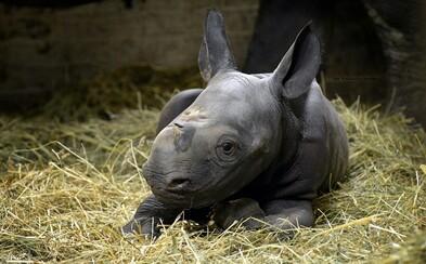 V zoo Dvůr Králové se narodilo mládě kriticky ohroženého nosorožce dvourohého