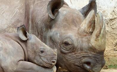 V zoologické zahradě ve Dvoře Králové se dočkali vzácného přírůstku. Na svět zde přišlo mládě kriticky ohroženého nosorožce dvourohého