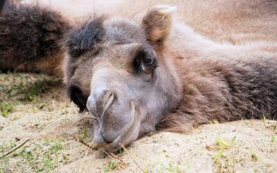 V zoufalém hledání vody velbloudi v Austrálii ničí majetek. Z vrtulníků jich zastřelí přibližně 10 tisíc