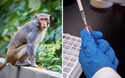 Vakcína proti koronaviru zřejmě zafungovala u opic. Bude fungovat i u lidí?