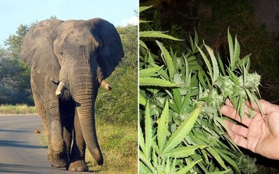 Varšavská zoologická záhrada bude liečiť vystresované slony marihuanou