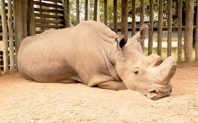 Vážný stav posledního bílého nosorožce se mírně zlepšil. Český samec Sudán se po dešti uvelebil v blátě