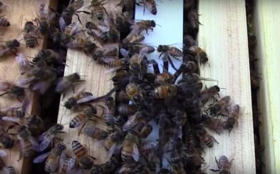 Včely si brutálne poradili s neútočiacim pavúkom. Pár prudkých pohybov ho stálo život