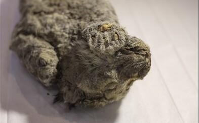 Vědci chtějí 50 000 let zamrzlé mládě lva přivést zpátky k životu pomocí klonování. Celé tělo je v perfektním stavu zachováno