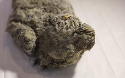 Vedci chcú 50-tisíc rokov staré zamrznuté mláďa leva priviesť späť k životu pomocou klonovania. Zachovalo sa celé telo v perfektnom stave