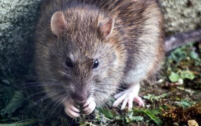 Vedci naučili potkanov šoférovať autá, motivovali ich jedlom: Nová zručnosť im pomohla zbaviť sa stresu