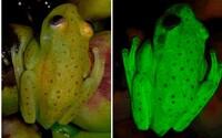 Vedci objavili historicky prvú žabu, ktorej telo fluoreskuje. Na zaujímavú svetielkujúcu vlastnosť pritom prišli úplnou náhodou