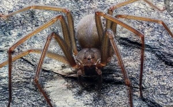 Vědci objevili nový druh jedovatého pavouka. Když tě pokouše, část tvého těla začne hnít