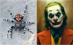 Vedci objavili nový druh pavúka, ktorý má pripomínať Jokera. Pomenovali ho po hercovi Joaquinovi Phoenixovi